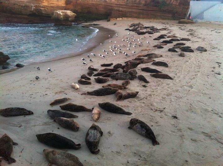 La Jolla-Deniz Aslanları