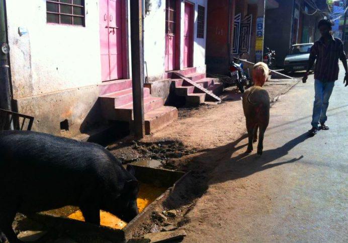 Hindistan Sokakları (Evet. o gördüklerin domuz.)