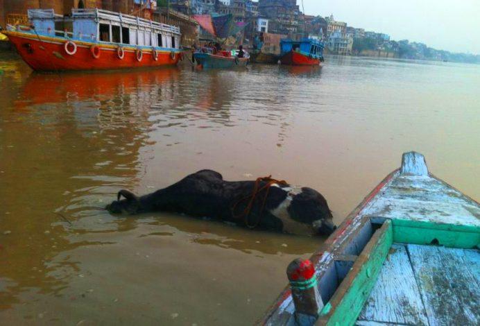 Varanasi-Hindistan ( Kutsal Ganj Nehrinde Ölü İnek Bedenleri... )