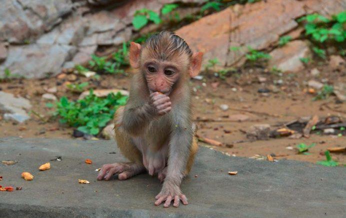 Maymun Tapınağındaki Sevimli Ev Sahipleri