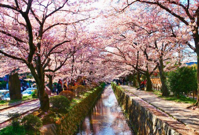 Sakura Zamanı Filozof Yolu